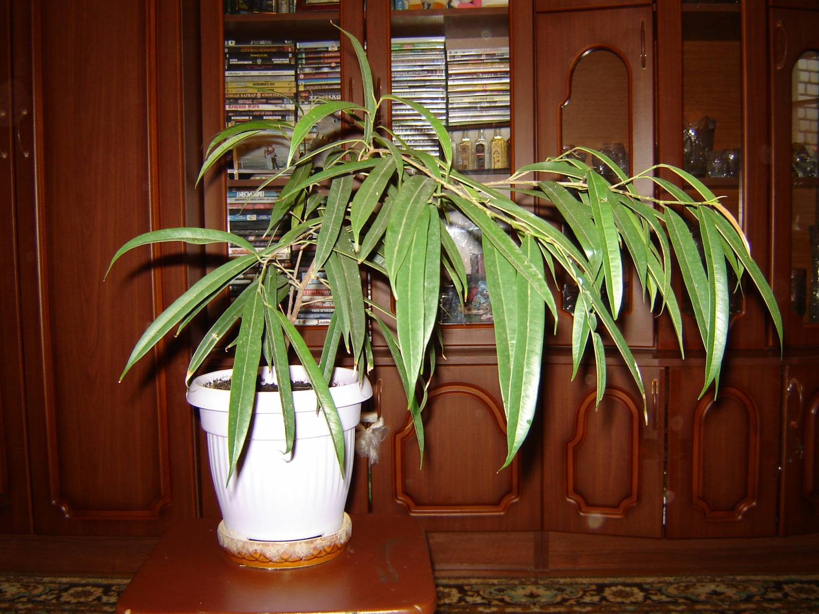 Домашнее цветами уход за фикусами